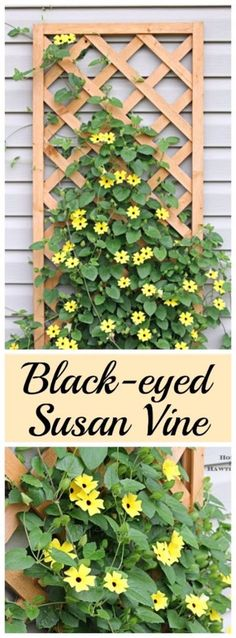 Creative Ways to Increase Curb Appeal on A Budget - Back Eyed Susan Vines - Cheap and Easy Ideas for Upgrading Your Front Porch, Landscaping, Driveways, Garage Doors, Brick and Home Exteriors. Add Window Boxes, House Numbers, Mailboxes and Yard Makeovers http://diyjoy.com/diy-curb-appeal-ideas