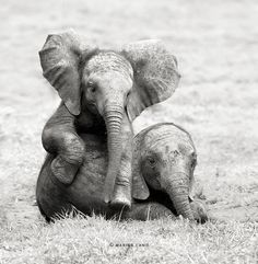 Photography Animals Funny Creative Products Weird More... The Majestic Beauty Of Wild Animals Captured By Marina Cano Baby Elephants, Elephants Playing, Save The Elephants, Elephants Photos, Elephant Photography, Animal Photography, Wildlife Photography, Portrait Photography, Elephant Elephant