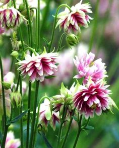 Aquilegia Nora Barlow - (Columbine) - Aquilegia Nora Barlow (Columbine) has beautiful, double flowers that are colored pink, white and gre - Beautiful Flowers, Flower Landscape, Flowers Perennials, Beautiful Gardens, Garden, Garden Soil, Potager Garden, Plants, Plant Design
