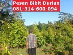 jual bibit durian bawor murah, hubungi bapak nugroho 0813-1460-0094 (sms,telp dan whatsapp)