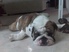 English bull dog - on the cold floor...