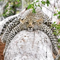 "Irene Nathanson (@irene_nathanson) on Instagram: ""#cub #leopard #ulusaba"" He looks like a spider.. spider leopard!"