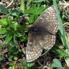 Mellicta asteria(Little Fritillary) photographed by Karen Nichols in Switzerland on 11th July 2015