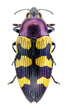 Castiarina acuticeps