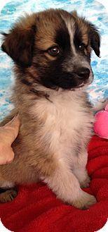 4/12/14: Decatur, AL - Great Pyrenees/German Shepherd Dog Mix. Meet Gus a Puppy for Adoption.