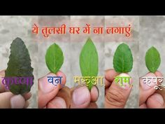 Vedic Mantras, Hindu Mantras, Tulsi Plant, Biology Projects, Positive Energy Quotes, Lucky Plant, Heath Tips, Logo Facebook, Happy Birthday Wishes Quotes