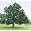 Pijnbomen online kopen (Pinus Nigra)