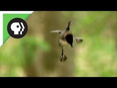 Ducklings Jump from Nest 50 Feet in the Air Snow Monkey, Sea Otter, Nature Animals, Otters, Natural World, Cool Watches, Behind The Scenes, Nest, It's Raining