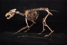 Dire Wolf Canis Dirus Complete Mounted Skeleton Replica Models for sale at www.SkeletonsAndSkullsSuperstore.com. These dinosaur skeletons and skull are museum quality replicas from La Brea Tar Pits are ideal for educators, veterinarians and students.