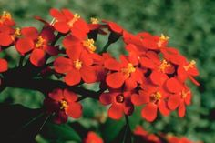Crown of thorns (Euphorbia milii) is a flowering shrub that grows 5 feet tall at most, while low-growing varieties work well as a ground cover. It's named for its thorns, but its evergreen ...