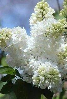 Lilacs Photograph - White Lilacs by Rosanne Jordan Lilac Bouquet, Lilac Flowers, Spring Flowers, Beautiful Flowers, Lilac Plant, Flower Art Images, Syringa Vulgaris, Lilac Bushes, White Gardens