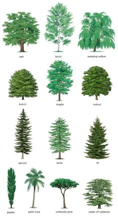 Gardens Discover Watercolor Clipart Spruce Pine Conifer trees Forest by ReachDreams Landscape Drawings Landscape Design Garden Design Landscape Architecture Drawing Landscapes Garden Trees Trees To Plant Conifer Trees Evergreen Trees Landscape Architecture, Landscape Design, Garden Design, Garden Trees, Trees To Plant, Tree Leaf Identification, Conifer Trees, Evergreen Trees, Conifer Forest