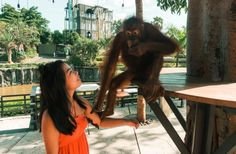 Meet Septi, a Female Sumatran Orang Utan - Midget Fidgets Hug, Bali, Journey, Meet, Adventure, Orange, Female, Travel, Bon Voyage