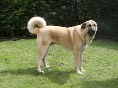 The origins of the Anatolian Shepherd are said to be rooted in Roman Mollosian war dogs and the Tibetan Mastiff, which arrived in Turkey over 4000 years ago. In Turkey, such dogs were used to defend livestock against predators like bears and wolves. They provided company to the shepherds and became widespread throughout a vast region. The American Kennel Club recognized the breed as part of the Miscellaneous class in 1996 and later into the Working Group.