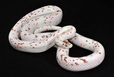 15 Best Palmetto Corn Snakes images in 2016 | Corn snake