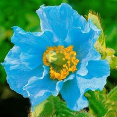 Wholesale Product Snapshot Product name is Rare Persian Blue poppy Papaver Somniferum DIY Home Garden Flower Seeds Easy to Grow 200 PCS poppy seeds