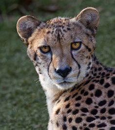 Amphibians, Reptiles, Mammals, Animal 2, Cheetahs, Flora And Fauna, Big Cats, Pet Birds, Felting