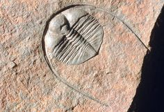 An internal fossil cast of the trilobite, Anebolithus simplicior (Whittard), from the Ordovician period (500 to 435 million years ago), found in the Lower Llanvirn sediments, Builth Wells inlier, Powys, Wales. The trilobites are an extinct group of marine arthropods, which were distributed throughout the prehistoric oceans.