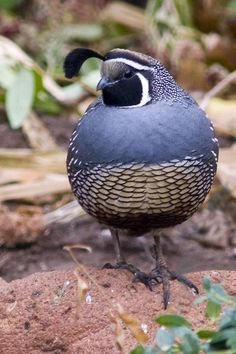 カンムリウズラ  California quail, California valley quail, Valley quail (Callipepla californica) male