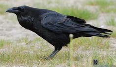 ravens - Google Search                                                                                                                                                                                 More