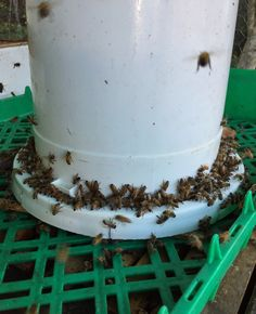 Beekeepers must remember to feed honeybees when natural sources are absent. Honeybees need alot of food to survive winter