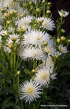 White Dahlias, Swan Island Dahlias, Oregon.  Photo: Gary Grossman, via Flickr