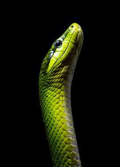 The red-tailed green ratsnake (Gonyosoma oxycephalum, also known as arboreal…