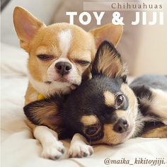 Toy & Jiji are father and son. What little cuties! They live together with Jiji's mum Kiki. #pet #dog #chihuahua