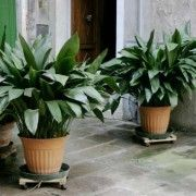 Castiron Plant in Pots, Gardenista - Aspidistra elatior, or the castiron plant, for enduring hardiness. Photograph via Jacksonville.   A Starry Night Castiron Plant is $7.99 from Hirt's.