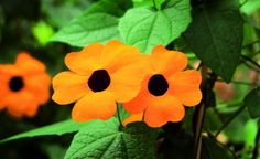 Klassich leuchtet die Schwarzäugige Susanne in kräftigen Orangetönen