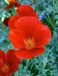 Cal poppy eschscholzia californica wikipedia the free eschscholzia is also known as california poppy and mikado is sure to turn heads with its stunning vibrant red color mikado was once emperor of japan mightylinksfo