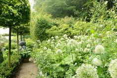 a bevy of white alliums