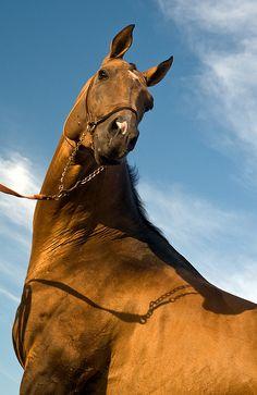 Akhal Teke stallion Eramay