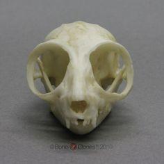 mouse skull