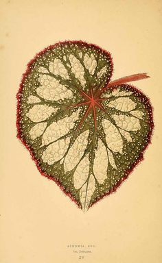 157931 Begonia rex Putz. var. nebulosa / Rothschild, J., Les plantes a feuillage coloré [original ed. E.J. Lowe and W.  Howard, Beautiful leaved plants (1861)], vol. 1: t. 15 (1867)