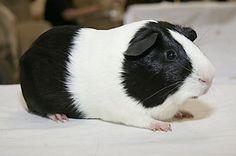 Black Dutch Guinea-pig