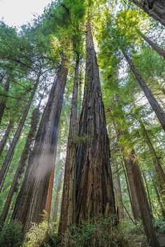 muir woods trees images   muir woods trees 2