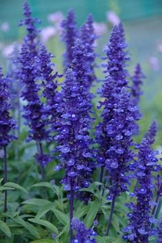 *HAVE* Salvia farinacea 'Midi' ...to plant between reed grass by rock... x3