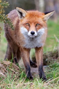 A Red Fox With a Shocked Look on His Face.