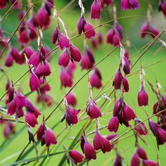 Dierama Plant Collection - All Perennial Plants - Perennial Plants - Gardening - Suttons Seeds and Plants Colorful Flowers, Purple Flowers, Beautiful Flowers, Flower Colour, Angels Fishing Rods, Sutton Seeds, Purple Plants, Border Plants, Fairy Wands