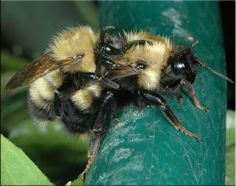 Mating pair of the Perplexing Bumble Bee (Bombus perplexus)
