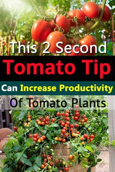 Gardening Vegetables This quick tomato tip is simple, and effective. It can increase the productivity of your tomato plants. - This quick tomato tip is simple, and effective. It can increase the productivity of your tomato plants.