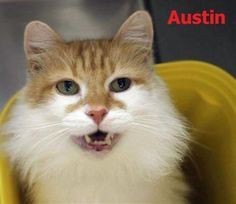 Austin would love a home - Greenville, SC http://www.brianshomeblog.com/2014/10/opt-to-adopt-not-a-real-senior-cat-austin-wants-your-lap-greenville-sc.html