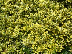 Trzmielina EMERALD GOLD krzew w donicy ZIMOZIELONY