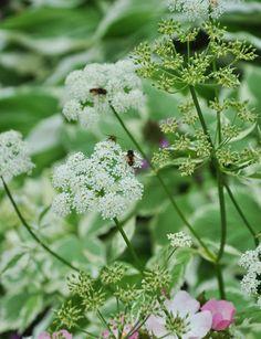 Invasive Plants, Part 3: How I Eliminated Goutweed in my front Garden
