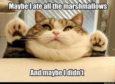 Marshmallow kitty