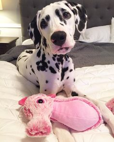 Love.. jackson_the_dalmatian #lacyandpaws
