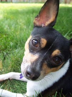 Toy_Fox_Terrier_
