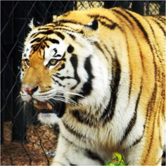 Mike the tiger, lsu