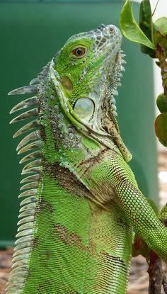Dit is een leguaan die je veel in Curaçao ziet, ik vond het een mooi plaatje en ik houd heel erg van dieren.